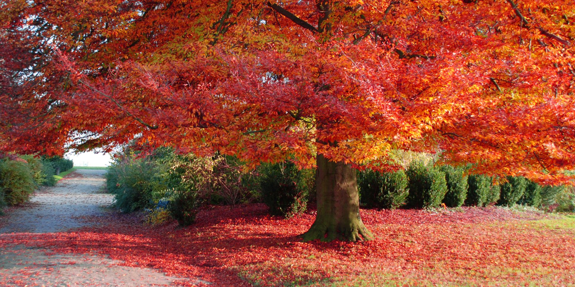 expansive tree in fall