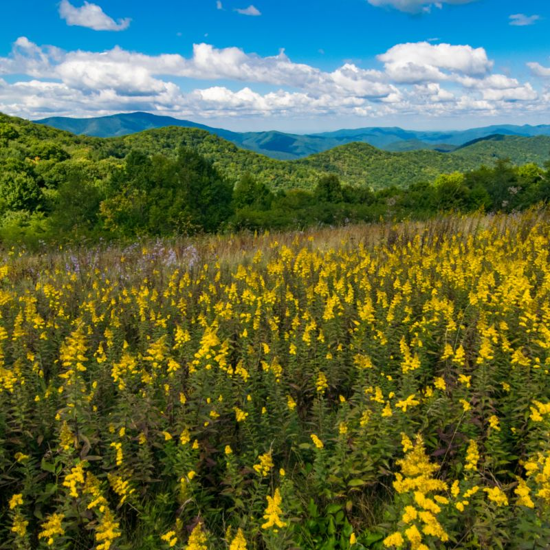 field of flowers with appalachian mountain backdrop